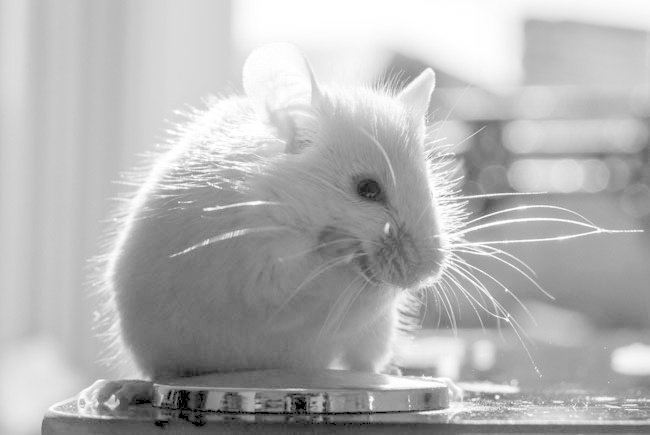 black and white image of white rodent